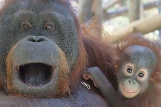 Chimpancés del Zoológico de Barcelona